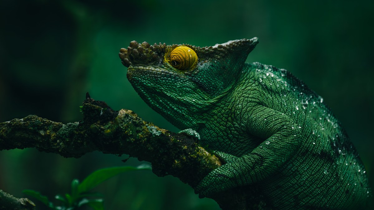 Madagascar's Amazing Reptiles and Amphibians
